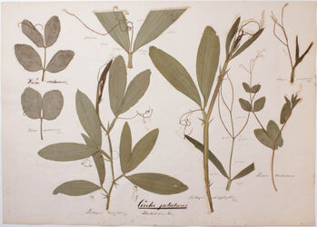 Cirrhi petiolares Cirrhi petiolares