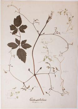 Cirrhi petiolares Cirrhi petiolares / Blattstielranken