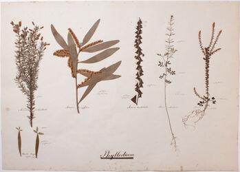 Phyllodium Phyllodium