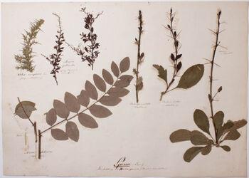 Spina (Dorn) / Dornbildung an Blattorganen (Haupt & nebenblättern)