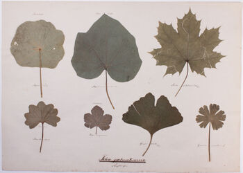 Folia palmatinervia Folia palmatinervia / Strahlläufer