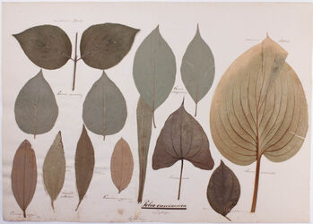 Folia curvinervia Folia curvinervia / Spitzläufer