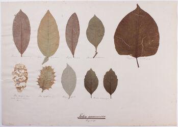 Foliorum arcunervia Folia arcunervia / Bogenläufer