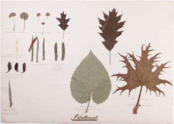 Foliorum margo Blattrand