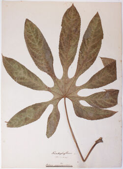 Folium palmatipartitum Folium palmatipartitum / Sciadophyllum