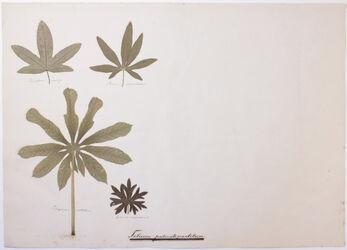 Folium palmatipartit