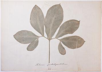 Folium pedatipartitum Folium pedatipartitum / Arum pedatum