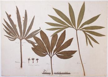 Folium pedatipartitum / Fußförmig getheiltes Blatt