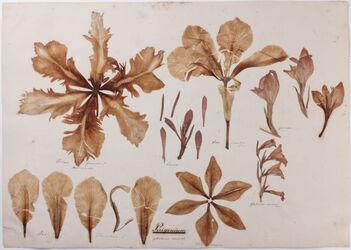 Perigonium Perigonium / Plantarum monocot