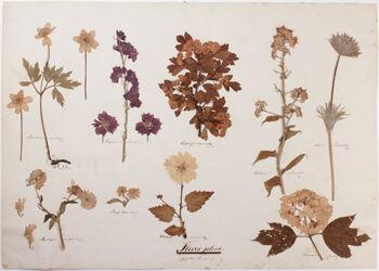 Flores pleni Flores pleni / Gefüllte Blumen