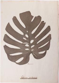 Folium pertusum Folium pertusum / Philodendron