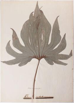 Folia pedatinervia Folium pedatinervium