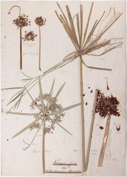 Gemmae plantiparae Knospen- & Zweige aus blüthentragenden Axenspitzen