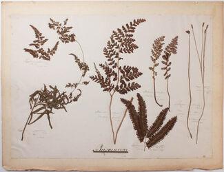 Schizaeaceae Schizaeaceae