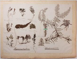 Hymenophylleae & Gleicheniaceae Hymenophylleae / Gleicheniaceae