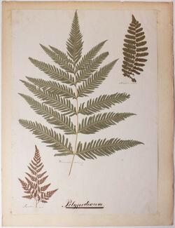 Polypodiaceae Davallia Woodwardia Polypodiaceae / Davallia / Woodwardia