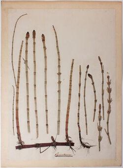 Equisetaceae Equisetaceae
