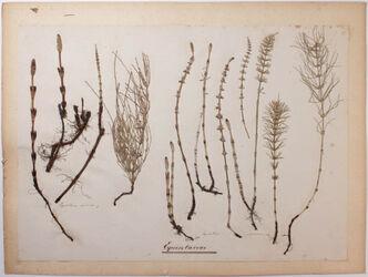 Equisetaceae