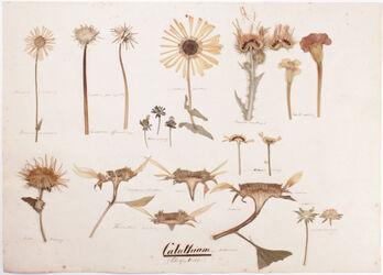 Calathium Calathium: s. Anthodium / (Blüthenkörbchen)