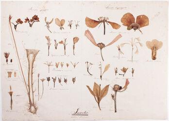 Insertio partium floralium Insertio partium floralium
