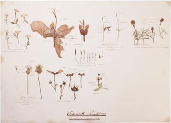 Internodia partium floralium Entwickelte Stängelglieder innerhalb der Blüthenwirtel