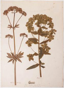Cyma Cyma / (Umbella cymosa) / (Corymbus cymosus)