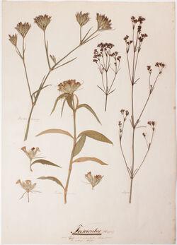 Fasciculus Fasciculus (Büschel) / eine Cyma mit unentwickelten Blüthenstielen der seitlichen Blüthen