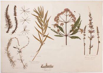 Verticillus Verticillus / Der Quirl oder Wirtel / (Blüthenstand!)