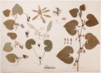 Perigonium Perigonium / (monochlamydeae)