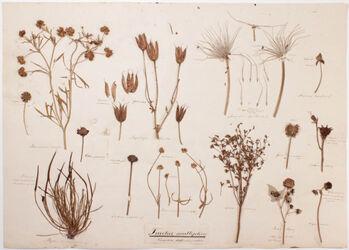 Fructus multiplices / Carpidia distincta & coalita