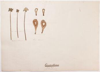Coenanthium Coenanthium / (Blüthenkuchen) / Centripetale Inflorescenz