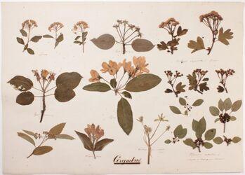 Corymbus Corymbus