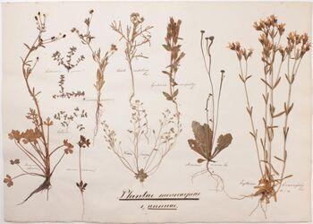Plantae monocarpeae Plantae monocarpae / 1., annuae