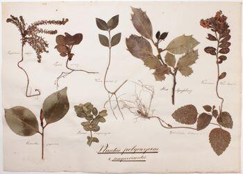 Plantae polycarpeae Plantae polycarpeae / 1., sempervirentes