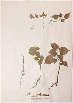 Plantae polycarpeae Plantae polycarpeae / 2., foliis annuis (deciduis)