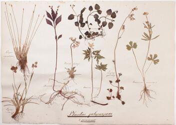 Plantae polycarpeae Plantae polycarpeae / 3., perennes
