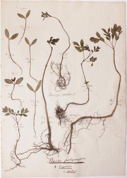 Plantae polycarpeae Planta polycarpeae / 4., lignosa / c., arbor