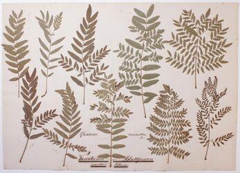 Folia polymorpha Variationen der Blattformen derselben Pflanze