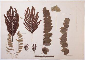 Foliorum somnus Nächtliche Stellung der Blätter