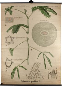 Tafeln nach L. Kny Mimosa pudica