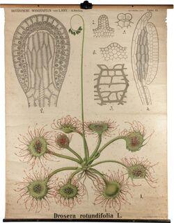 Drosera rotundifolia L.