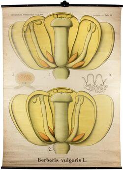 Tafeln nach L. Kny Berberis vulgaris