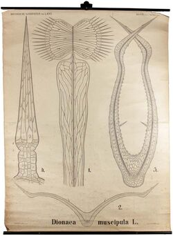 Tafeln nach L. Kny Dionaea muscipula