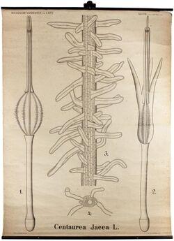 Tafeln nach L. Kny Centaurea jacea