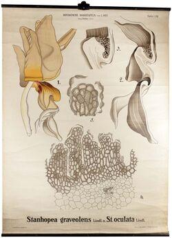 Tafeln nach L. Kny Stanhopea graveolens, Stanhopea oculata