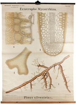 Ectotrophe Mycorrhiza