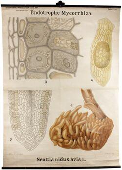 Tafeln nach L. Kny Endotrophe Mycorrhiza
