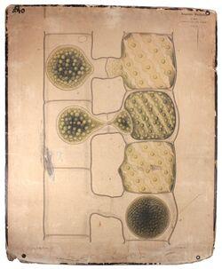 Lehrtafeln Spirogyra