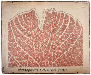 Rhodophyta; Delesseria elata