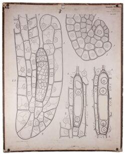 Lehrtafeln Embryosack